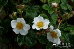 加利福尼亚草莓Fragaria californica