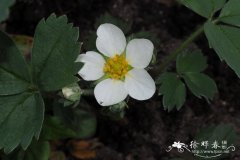 唇舌草莓Fragaria chiloensis